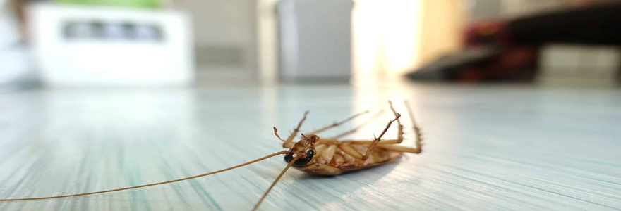 blattes et des cafards